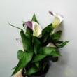 Zantedeschia lila