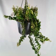 Aeschynanthus Twister