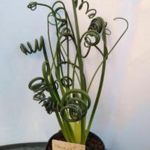 Albuca spiralis Frizzle Sizzle hagyma