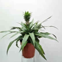 Ananas Elyne Green