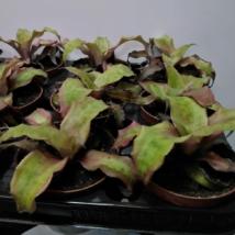 Cryptanthus bivittatus Strawberry Flambe