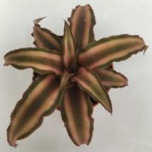 Cryptanthus bivittatus (barna)