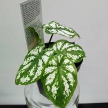 Caladium green white