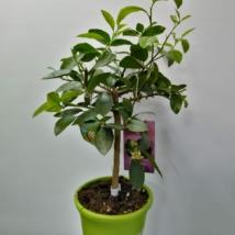 Citrus Latifolia (Caipirinha-limette)