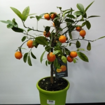 Citrus Limonia Osbeck (Mandarin-Limette)