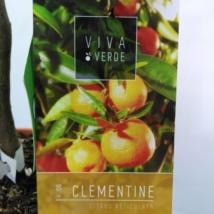 Citrus reticulata / Mandarin