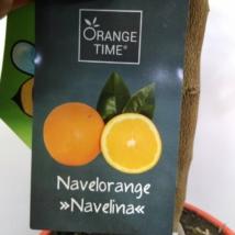 Citrus Sinensis Navelina