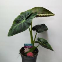 Colocasia royal Hawaiian aloha