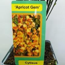 Cytisus Apricot Gem