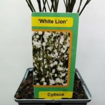 Cytisus White Lion