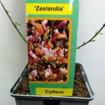 Cytisus Zeelandia
