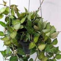 Hoya krohniana