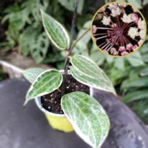 Hoya Macrophylla Variegata