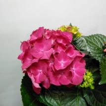 Hydrangea Hot Red  Hortenzia