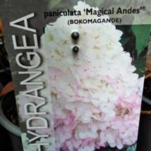 Hydrangea paniculata magical Andes