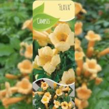 Campsis radicans Flava