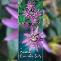 Passiflora Lavender Lady / Lila golgotavirág