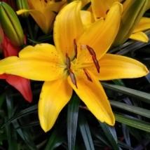 Liliom sárga