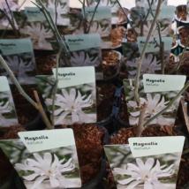 Magnolia Stellata / Csillagvirágú Liliomfa