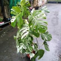 Monstera deliciosa variegata (50)
