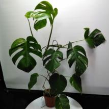 Monstera deliciosa variegata (32)