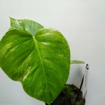 Monstera deliciosa variegata (19)
