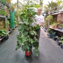 Monstera deliciosa variegata (501)