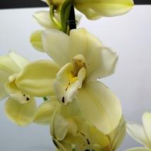 Cymbidium vajszínű 2 virágszálas