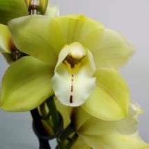 Cymbidium vajszínű 1 virágszálas