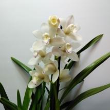 Cymbidium fehér 1 virágszálas