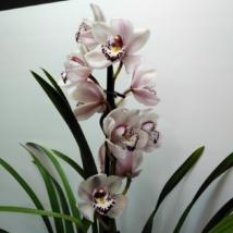 Cymbidium krém-bordó 1 virágszálas