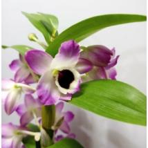 Dendrobium nobile Star Class