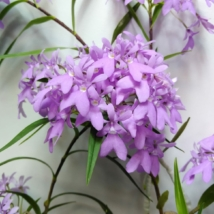 Epidendrum centropetalum Panama orchidea