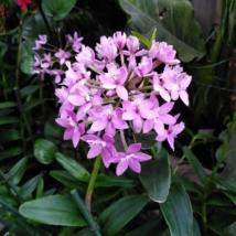 Epidendrum licht paars