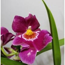 Miltonia lila
