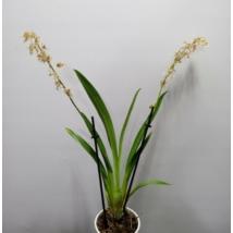 Odontoglossum naevium