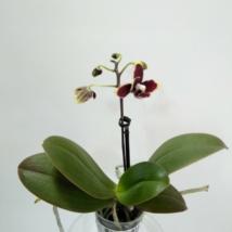 Phalaenopsis mini bordó