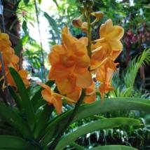 Vanda orchidea narancs