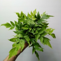 Cyrtomium fortunei clivicola