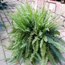 Nephrolepis Green Moment