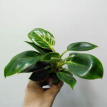 Philodendron Birkin White Measure