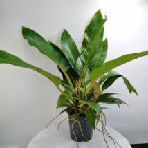 Philodendron Fatboy Yellow