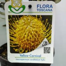 Leucospermum Yellow Carnival