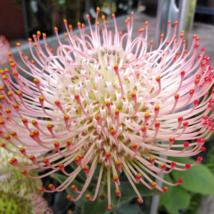 Leucospermum Ayoba Pink