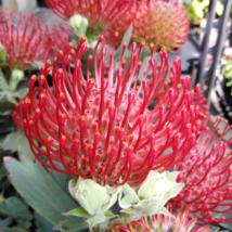 Leucospermum Ayoba Red