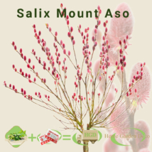 Salix gracilistyla Mt. Aso