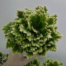 Selaginella Jori