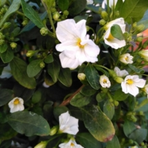 Solanum rantonnetii White Charles