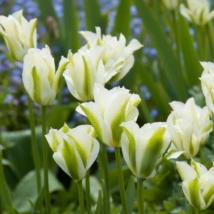Tulipán spring green 100 darabos