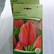 Tulipán royal van eijk